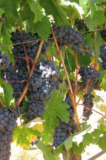 Grapes on a Vine | Resources